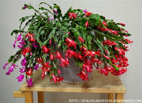 how much darkness do christmas cactus need cactus space gardening