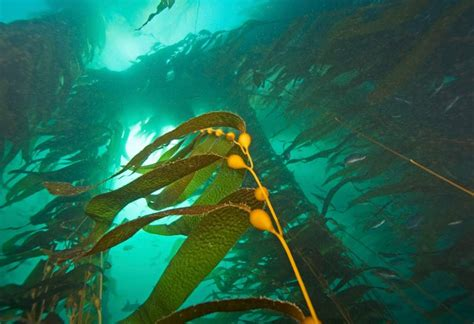 The In The Kelp plant animal or algae discovering the mysteries of
