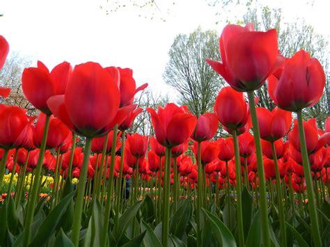 Mewah Walpaper Walpaper Dinding Stiker Bunga Putih Kmk 089 Size 45cm X gambar gambar pensil mewarnai bunga tulip kartun di