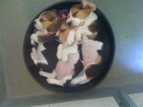 beagle puppies available available beagle puppies jackpot kingsbury hounds