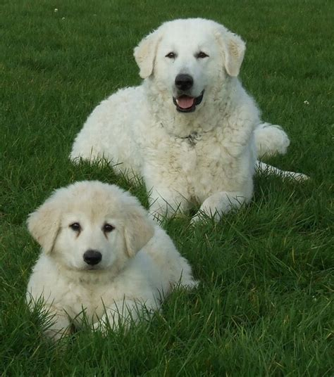 kuvasz puppies kuvasz animals