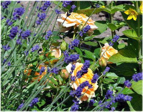 Schädlinge Zimmerpflanzen Bilder 3882 by Mehltau Auf Mehltau Auf Stockfoto Bild