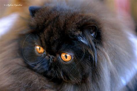 persiani gatti gatto persiano carattere cure e prezzo miciogatto it