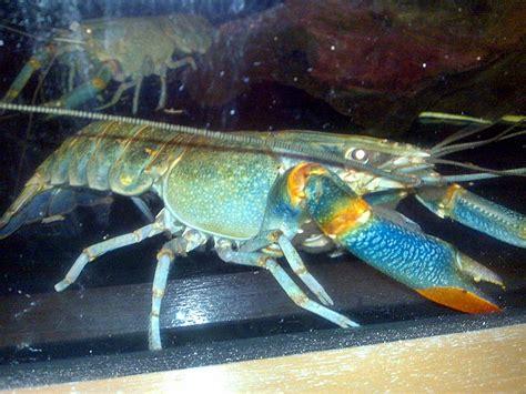 Lobster Air Tawar budidaya lobster air tawar akuarium ikan hias