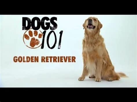 golden retriever dogs 101 dogs 101 golden retriever eng pug