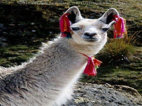 imagenes de animales nativos del peru animales nativos del per 250