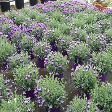 buy french lavender plants online lavender stoechas greek mountain delivery by charellagardens