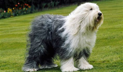 sheep dogs sheepdog breed information