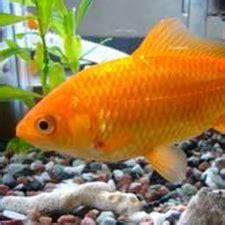 Keep Rafika 3 10 225 3 ways to keep a goldfish happy and healthy wikihow