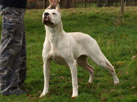 dogo argentino dogo argentino world largest pedigree database dogo argentino baccicaliente