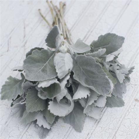 cut foliage plants best 25 dusty miller ideas on dusty miller