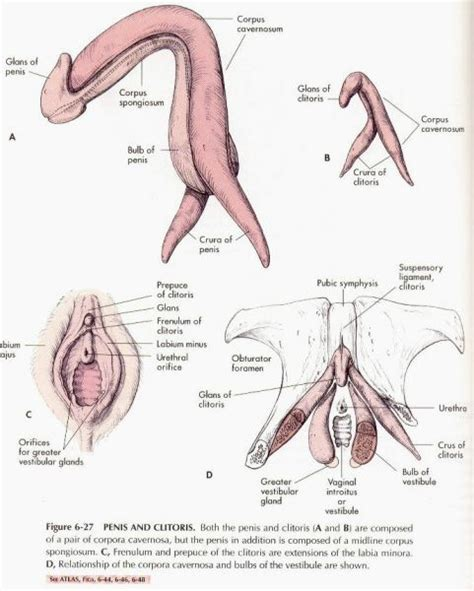 orgasm after c section why is the clitoris on the outside of the vagina askscience