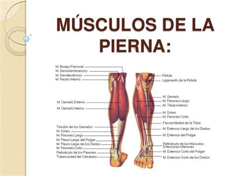 los msculos clave en m 250 sculos de la pierna