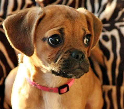 pug or puggle i m not a of pugs or dogs with squashed faces in general but there s something