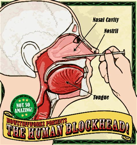 sinus passages diagram anatomy and the human blockhead anatomy of the nasal