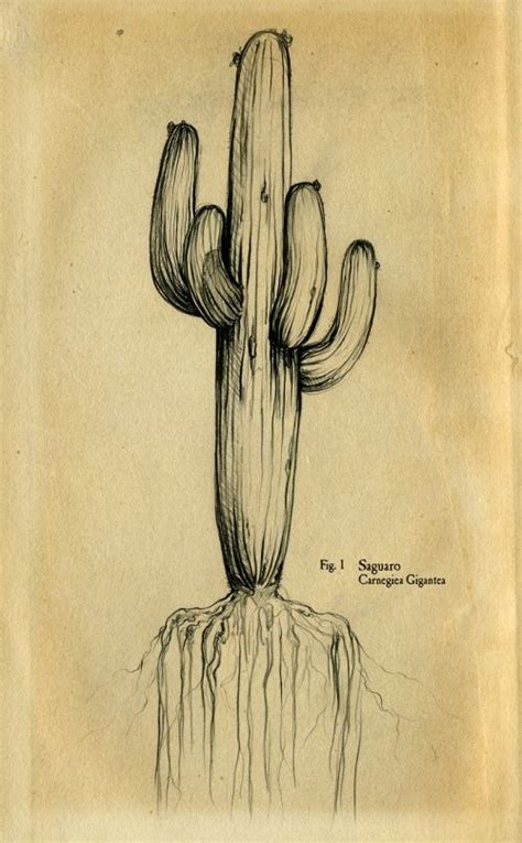 saguaro tattoo saguaro of drawing tatouage