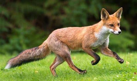 dublin ohio usa 187 foxes denning under decks