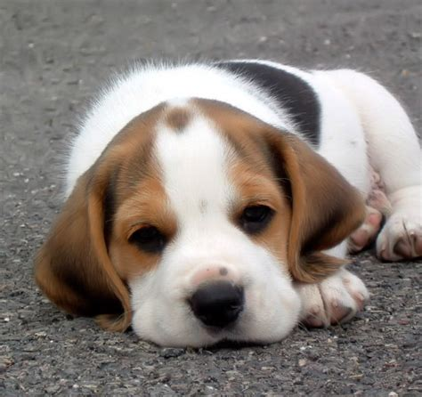 begal puppy top 10 least intelligent dogs to breeds