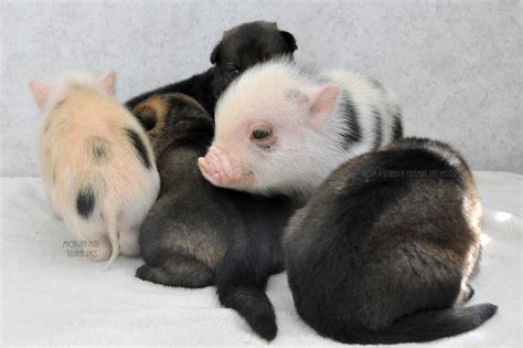 free puppies in delaware german shepherd puppies and newborn mini pigs make for the greatest of friends photos