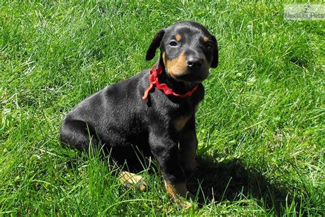 doberman puppies for sale michigan doberman pinscher puppy for sale near flint michigan 144d122c 3d61