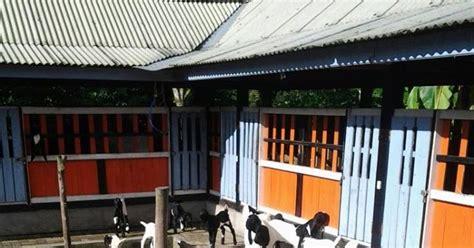 Bibit Kambing Per Ekor menjadi jutawan dari usaha pembibitan kambing