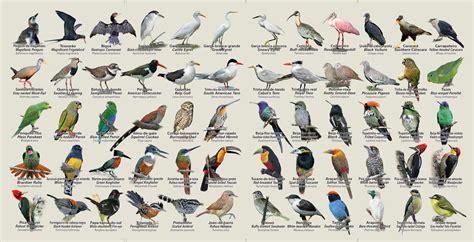 gua de aves renato rizzaro guia de aves de paraty