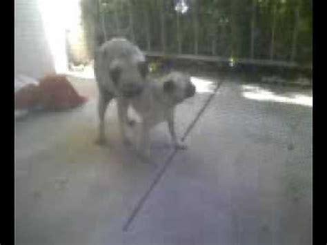 mating pugs pug mating funnydog tv
