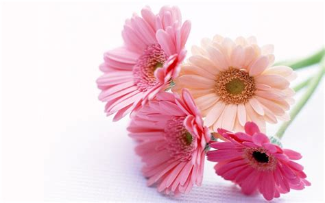 flower wallpaper wallpapers gerbera flowers wallpapers