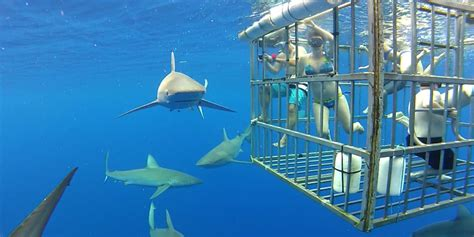 cage dive with sharks cage dive with great white sharks the pros and cons