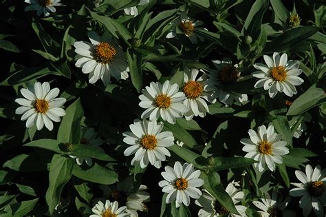Zahara White zahara white zinnia zinnia zahara white in lincoln