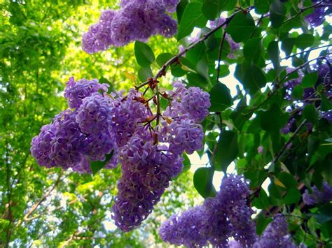 Lilac Tree | journeys lilacs
