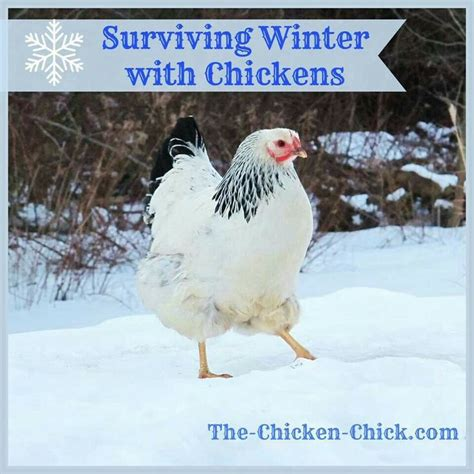 Backyard Chickens Winter Live Q A Raising Chickens In Backyard Chickens In Winter