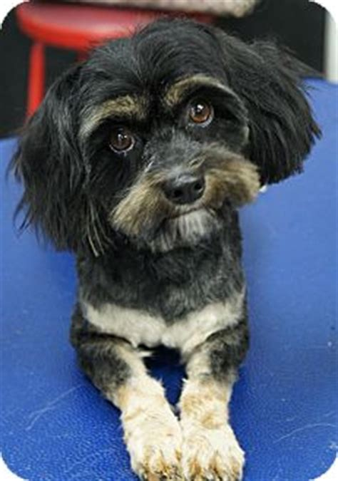 havanese yorkie mix dogs peek a boo adopted los alamitos ca yorkie terrier havanese mix