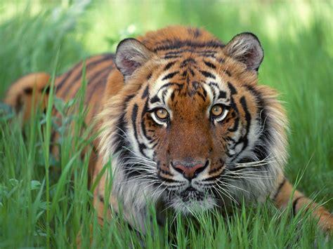 gambar wallpaper anak harimau kumpulan wallpaper harimau