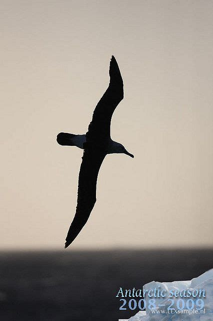 albatross tattoo albatross silhouette idea 8531 inked