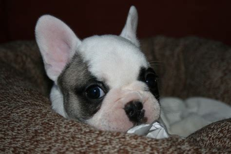 french bulldog c section french bulldog puppy party video