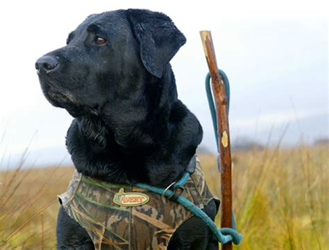 best breed of for me which is the best gundog breed for wildfowling shooting uk