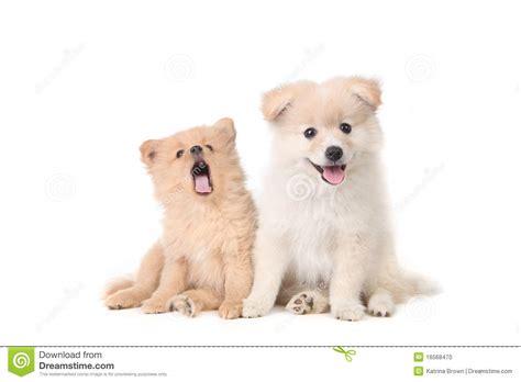 pomeranian sitting pomeranian puppies sitting obediently stock photo image 16568470