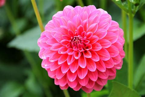 la flor de dalia laberinto kostenloses foto blume pflanze bl 252 te rosa pink