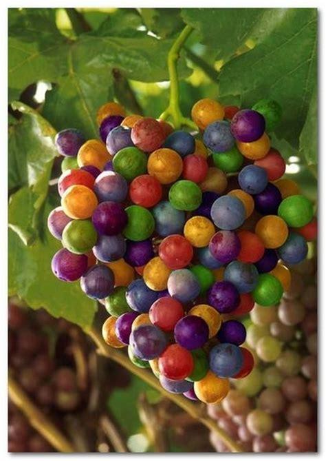Bibit Buah Kiwi Dataran Rendah benih buah buahan fresh nature