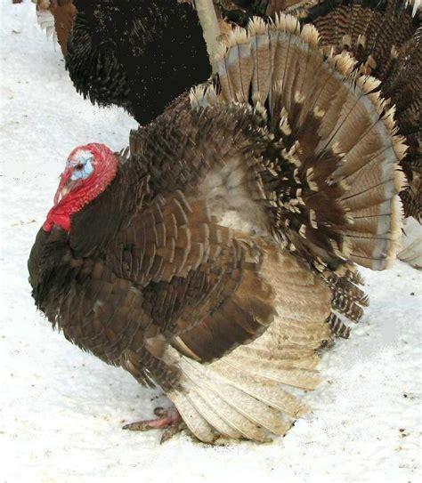 can turkeys see color porter s heritage turkeys blue bronze