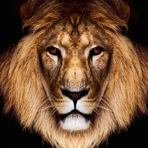 king lion hd wallpaper  ipad air