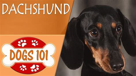 7 Facts On Dachshunds by Dogs 101 Dachshund Top Facts About The Dachshund