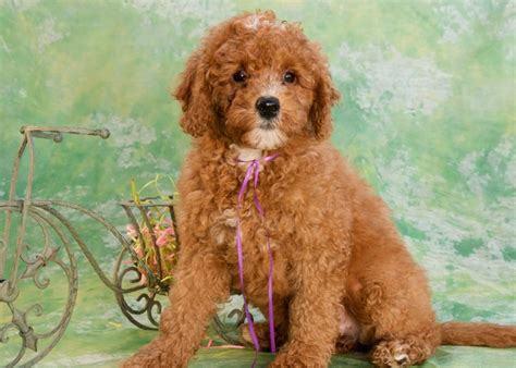 mini labradoodles kentucky 19 best images about labradoodle d on