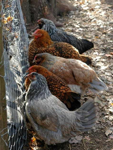 Keeping Backyard Chickens Your Garden Keep A Flock Of Backyard Chickens