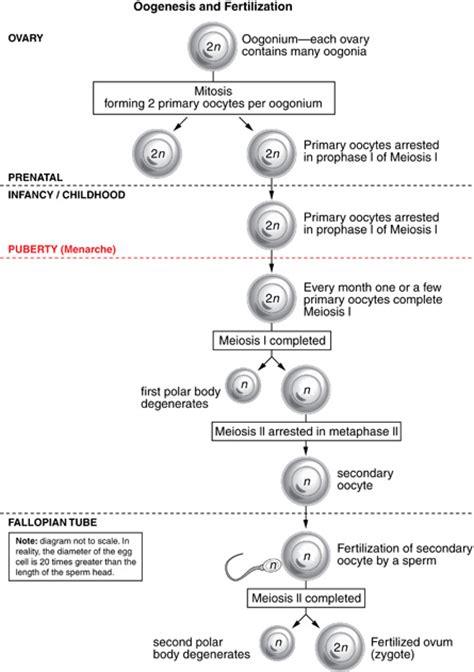 oogenesis flowchart module 5 page 2