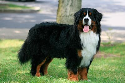 Bernese Mountain Dog History, Personality, Appearance