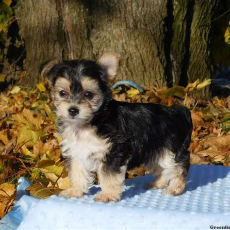 yorkie poo puppies for sale ny morkie poo www pixshark images galleries with a bite