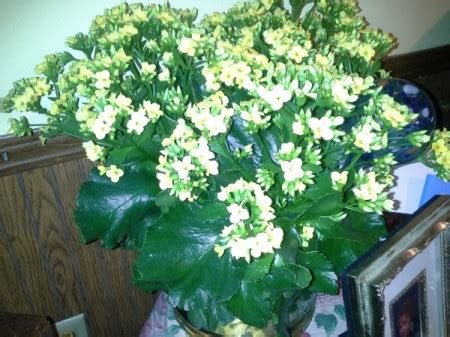 identifying  houseplant thriftyfun