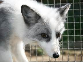 domesticated silver fox